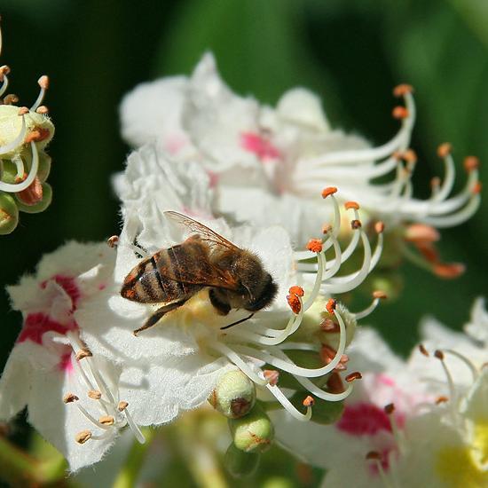 Каштановый - особый мёд