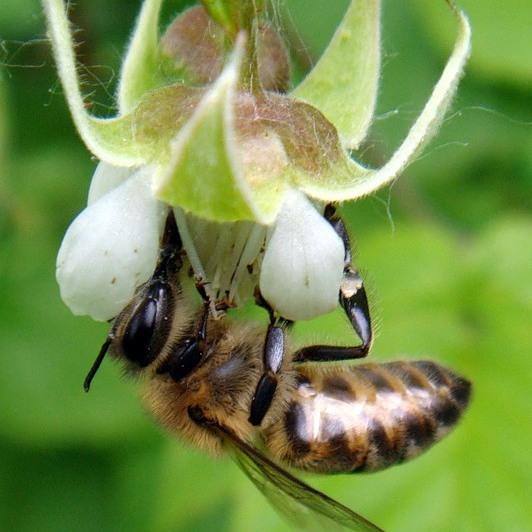 Мёд из малины