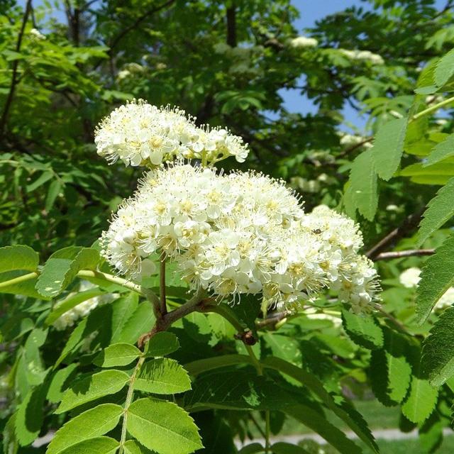 Мёд из цветущей рябины