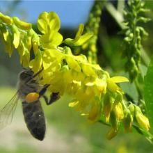 Мёд с белого и жёлтого донника