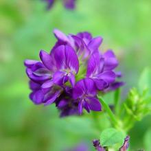 Мёд из фиолетовых цветков люцерны
