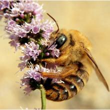 Мёд с ароматом мяты