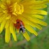 Одуванчик полевой и мёд
